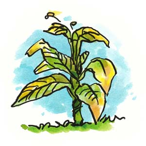 Roundup - Yellowing Plant